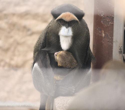 20090218guenon1
