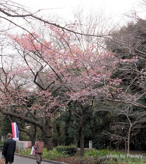 20090227sakura1